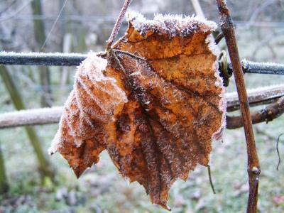 白头藤叶子, 雾凇, 冬天, 自然