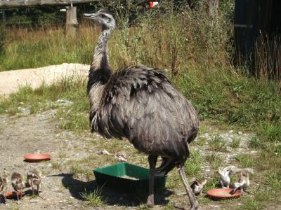 鸟, 花束, 鸵鸟, 动物, 折翼的鸟, 生物, 野生动物摄影
