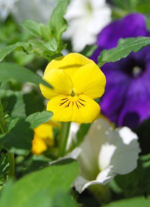 黄色, 花, 三色堇, 自然, 绿色, 夏季, 花园