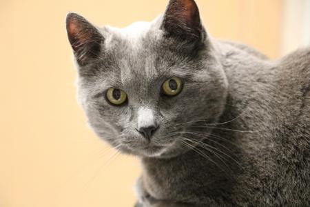 猫, 灰色的猫, 老猫, 猫科动物, 国内短发, 动物宠物, 办公室宠物