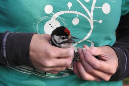 鸟类学, 鸟的铃声, 科学, 发现