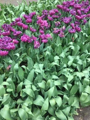 郁金香, 紫色, 花, 荷兰, 绿色