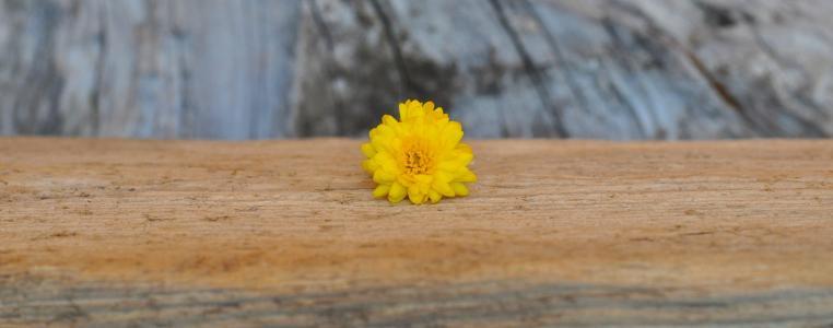 菊花, 黄色, 木材, 木材-材料, 自然, 花, 背景