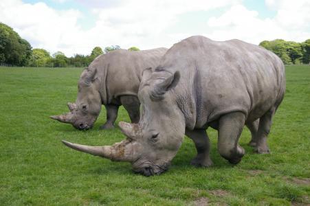犀牛, 公园, 野生动物园, 野生, 哺乳动物, 动物, 野生动物