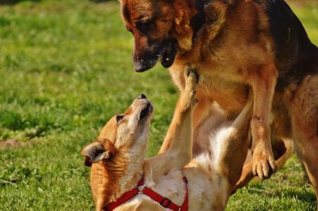 狗, 毛皮, 戏剧, 战斗, 草甸, 米色, 浅棕色