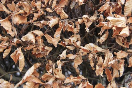 山毛榉的叶子, 死, 秋天