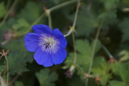 野, 开花, 绽放, 蓝色, 夏季, 地面覆盖, 花