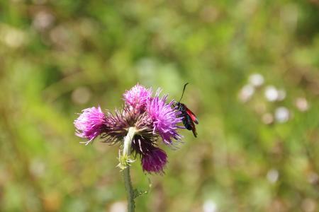 昆虫, 花, 草甸, 宏观