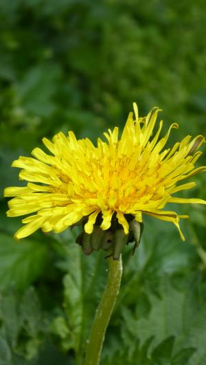 蒲公英, 绿色, 黄色, 开花, 绽放, 尖尖的花, 自然
