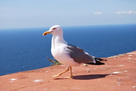 海鸥, 海雕, 海, 王者