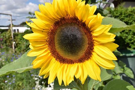 太阳花, 植物, 花园, 花, 黄色的花, 黄色