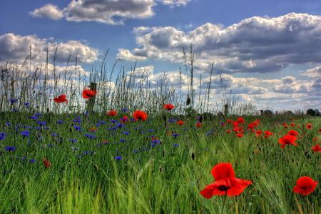 勃兰登堡州, 德国, 自然, 罂粟, 花, 字段, 草甸
