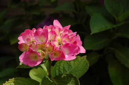 绣球花, 自然, 花, 春天, 颜色, 五颜六色的鲜花, 花园