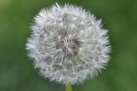 蒲公英, 宏观, 种子, 夏季, 花, 关闭, 尖尖的花