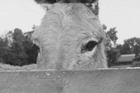 驴, 动物, 农场, 眼睛, 农场里的动物, 头, 栅栏