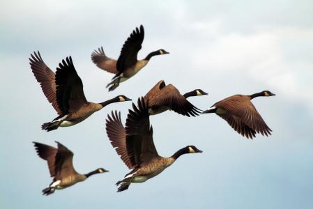 鹅, 鸟类, 羊群, 野生动物, 飞行, 形成, 天空