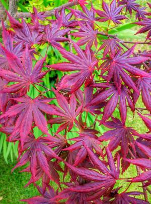 宏碁, 树, 叶子, 红色, 秋天, 花园, 自然