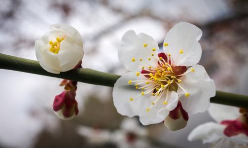 樱花, 花, 自然, 植物, 白色, 木材, 春天