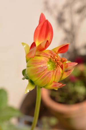 花, 大丽花, 橙色, 大丽花花, 自然, 植物, 开花