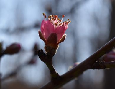 桃花芽开放, 桃树, 花蕾, 开花, 花, 绽放, 春天