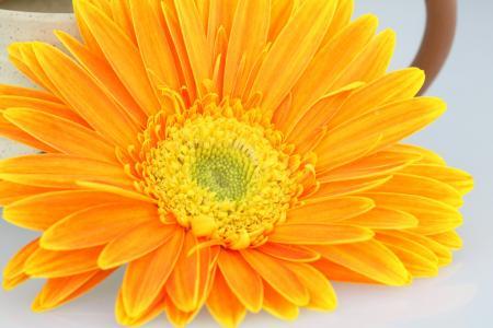 菊花, 花, 橙色