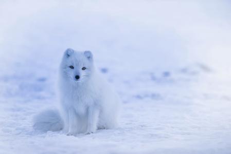 冰岛, 北极狐狸, 动物, 野生动物, 可爱, 冬天, 雪