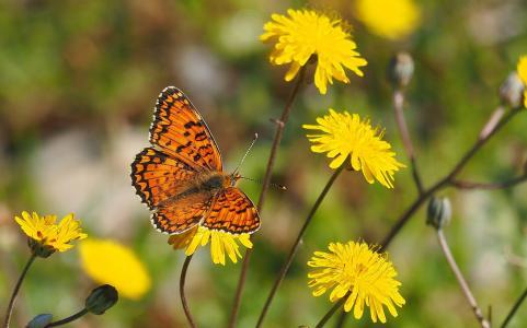 自然, 蝴蝶, 花, 宏观, 中等的珍珠母, 花, 蝴蝶-昆虫