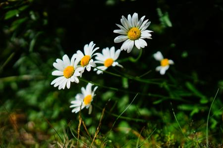 草甸 margerite, 雏菊, 花, 白色, 春大麦, 花篮温室, 菊科