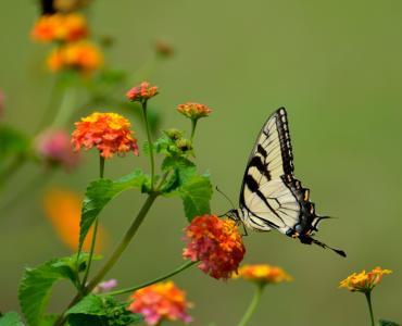 绽放, 开花, 蝴蝶, 花, 昆虫, 鳞翅目昆虫, 自然