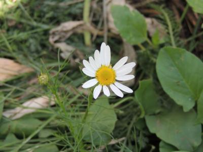 黛西, 花, 洋甘菊, 花, 夏季, 特写, 白色的花