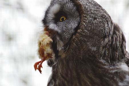 猫头鹰, wildpark 地点, 猎物, 小鸡, 大雕, 吃, 鸟