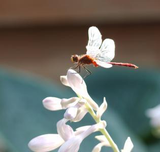 蜻蜓, sympetrum vicinum, meadowhawk, 镖, 花, 花蕾, 悬停