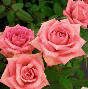玫瑰, 粉色, 浪漫, 绽放, 花