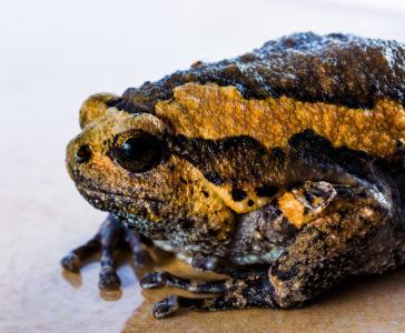 蟾蜍, anuran, 青蛙, 两栖类动物, 两栖类动物, 动物, 自然