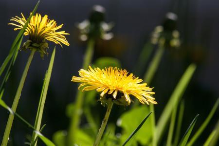绽放, 开花, 蒲公英, 植物区系, 花, 自然, 植物