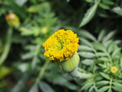 万寿菊, 花蕾, 万寿菊, 土耳其的康乃馨, 枯死的花, 夏天花, 阳台花