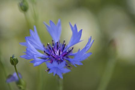 矢车菊, 蓝色, 矢车菊, 绽放, 宏观, 蓝色的花, 紫色