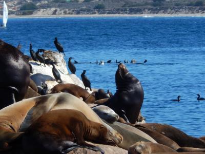 动物, 海狮, 海洋动物, 密封件, 海鸟, 水, 蒙特雷湾
