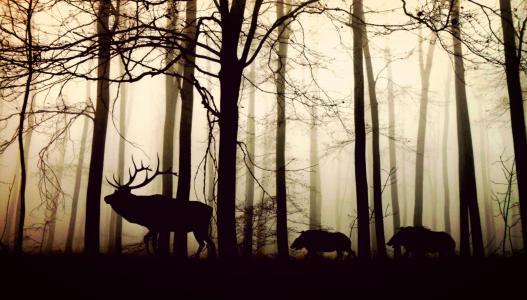 森林, 雾, 美国好施集团, 野猪, 自然, 动物, 树木