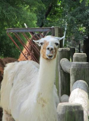 美洲驼, 羊驼, 毛皮, 可爱, 头, 哺乳动物, 动物
