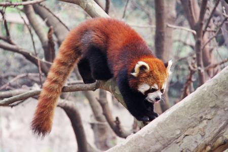 可爱, 红熊猫, 四川, 黑色和白色, 可爱, 国家动物, 熊猫