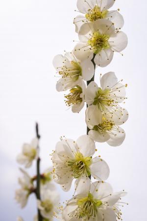 梨花, 花, 自然, 植物, 白色, 木材, 春天