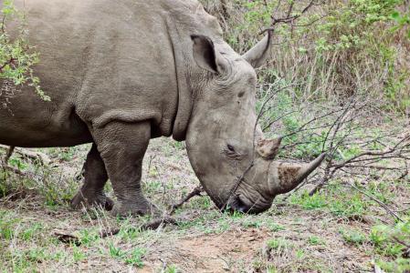 犀牛, 动物, 野生动物, 非洲, 大游戏, 野生动物园, 南非