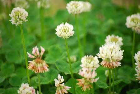 白三叶草, 三叶草, 自然, 花