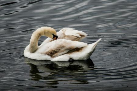 天鹅, 湖, 游泳, 鸟, 自然, 水, 野生动物