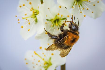 开花, 绽放, 胡梅尔, 授粉, 昆虫, 自然, 花园
