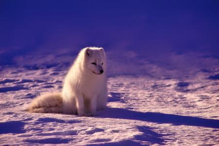 挪威, 狐狸, 北极, 动物, 野生动物, 雪, 冬天