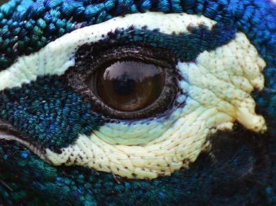 孔雀, 眼睛, 关闭, 彩虹, 鸟, 家禽, 羽毛