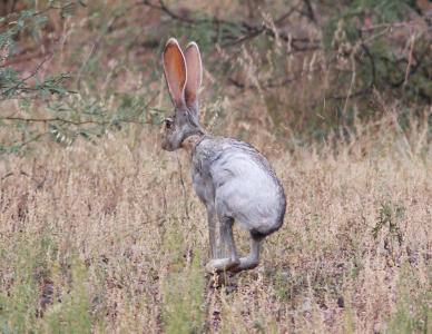 羚羊野兔, 野生, 自然, 野生动物, 肖像, 耳朵, 寻找