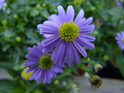 花, 开花, 绽放, 自然, 黄色, 蓝色, 花园